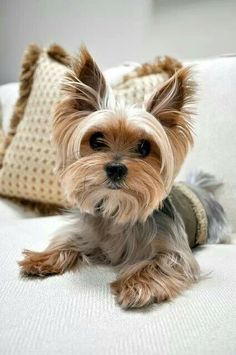 Those eyes and the gorgeous big ears. Yorkies have such soulful eyes. A stunning little creature. I could never leave a Yorkie out of dog and puppies. See my Yorkies in my dogs and cats Baby Dogs, Pet Dogs, Pets, Pet Pet, Yorkies, Havanese Dogs, Pomeranian Dogs, Pomeranians, Cute Baby Animals