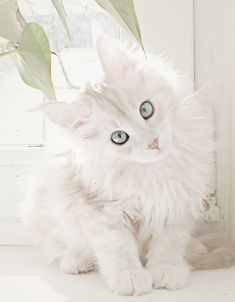 White Maine Coon. Wauw. Love it! Please pin! And share this beautifull cat with the world!