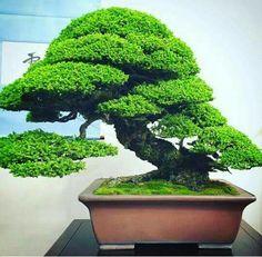 Bonsai Tree Types, Bonsai Trees, Bonsai Art, Bonsai Garden, Ikebana, City Drawing, Mini Plants, Japanese Gardens, Urban Gardening