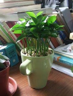 DIY Wie in einem Topf ein Zitronenbaum aus Samen zu ziehen 9