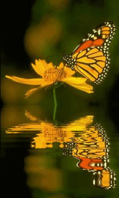 Monarch reflection.  Repinned by An Angel's Touch, LLC, d/b/a WCF Commercial Green Cleaning Co., Denver's Property Cleaning Specialists. http://angelsgreencleaning.net
