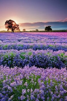 """Lavender fields, Provence, France. """"Provence is a region of southeastern France on the Mediterranean adjacent to Italy. It's part of the administrative région of Provence-Alpes-Côte d'Azur. The traditional region of Provence comprises the départements of Var, Vaucluse, Bouches-du-Rhône, Alpes-de-Haute-Provence, Alpes-Maritimes and parts of Hautes-Alpes. The Romans made the region into the first Roman province beyond the Alps, their Provincia Romana, the origin of its present name."""""""