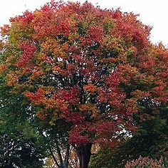Zelkova tree--Green leaves turn yellow, copper, orange, or deep red to purplish-red in fall putting on a showy display. The peeling bark on older trees exposes orange patches which can be quite impressive.