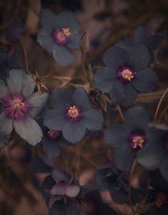 Dark Flowers, Beautiful Flowers, Autumn Flowers, Purple Flowers, Gothic Garden, Midnight Garden, Black Garden, Mother Nature, Planting Flowers