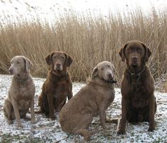 Chesapeake Bay Retriever... the best guard retriever there is....