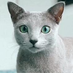 Ready To Pounce! #cat #catgif #cateyes #cats