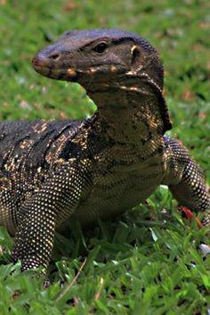 The Asian Water Monitor Lizard