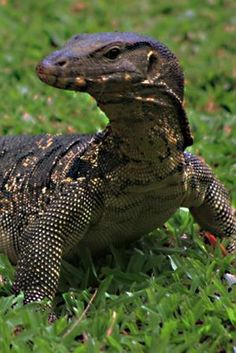 The Asian Water Monitor Lizard