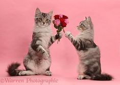 Silver tabby kitten, offering roses to another Baby Kittens, Cute Cats And Kittens, Big Cats, Kittens Cutest, Silver Tabby Kitten, Black Cat Anime, Animal Drawings, Funny Cats, Cute Animals
