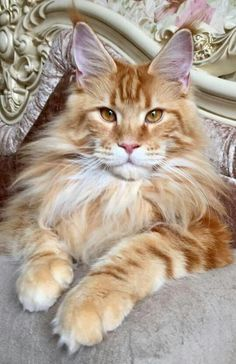 Maine Coon Cats Kitten Click the Photo For More Adorable and Cute Cat Videos and Photos Gatos Maine Coon, Maine Coon Cats, Pretty Cats, Beautiful Cats, Kittens Cutest, Cats And Kittens, Kittens Meowing, Siberian Cats For Sale, Chesire Cat