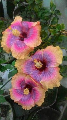 Hibiscus Plant, Hibiscus Flowers, Tropical Flowers, Exotic Flowers, Amazing Flowers, Pretty Flowers, Hibiscus Rosa Sinensis, Hawaiian Flowers, Tropical Garden