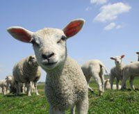 The Hidden Lives of Sheep | The Wool Industry | Animals Used for Clothing | The Issues | PETA