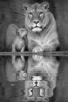 MOTHER LION AND CUB, WATER REFLECTION GIF *