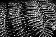New Zealand Native Ponga or Punga Tree Fern Frond royalty-free stock photo Fern Frond, Tree Fern, High Contrast, Image Now, Ferns, Fine Art Photography, New Zealand, Nativity, Monochrome
