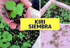 KIRI: El árbol de sombra de más rápido crecimiento en el mundo Flower Planters, Environmental Art, Cactus, Kiwi, Interior, Blog, Organic Fertilizer, Gardens, The World