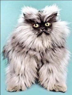 cat moth, colonel meow