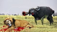 Lion vs Buffalo Bloody Battle | Buffalo vs Lion Fight Buffalo Wings