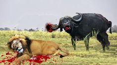 Lion vs Buffalo Bloody Battle   Buffalo vs Lion Fight Buffalo Wings
