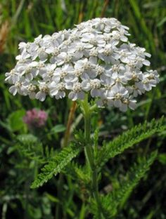 "Achillea millefolium or yarrow is a flowering plant in the family Asteraceae, native to the northern hemisphere. In Spanish-speaking New Mexico and southern Colorado, it is called plumajillo, or ""litt"