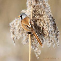 Gepind vanaf vroegevogels.vara.nl - Baardman