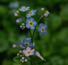 Planting Forget Me Not Flowers | of Forget Me Not poems that are about bereavement over a loss. To me ...
