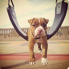 Pit bull love.  The single most beautiful puppy in the world. <3