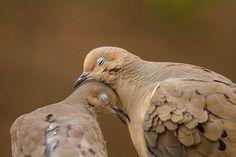 Some breed of pigeon. Pretty Birds, Beautiful Birds, Animals Beautiful, Cute Animals, Funny Animals, All Birds, Love Birds, Funny Bird, Mourning Dove