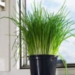 Cómo sembrar hierbas aromáticas en el huerto familiar.  Imagen: planta de cebollino