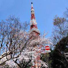 Torre de Tóquio, rodeado de cerejeiras floridas #tokyotower #cherryblossom #spring #seviranomundo #tokyo #sakura #paisagem #moments #trip #travel #aroundtheworld #japan #cerejeiras #toquio #travel #viagens #japantrip #explorejapan #nihon