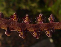 Bulbophyllum bufo