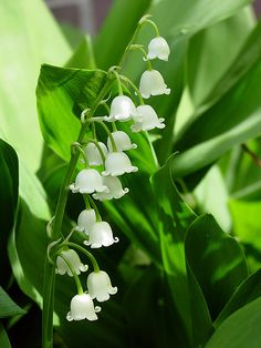 Lilly of the valley - the best smell
