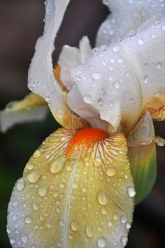 Rain-kissed Iris