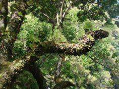 Laurel Tree - Madeira Island