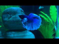 This is Chavito or Chavo my Butterfly Halfmoon Dumbo Betta