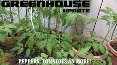 ⟹ GREENHOUSE UPDATE 6/24/2017 Tomatoes, Peppers and more! #greenhouse