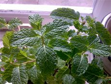 how to grow mint indoors