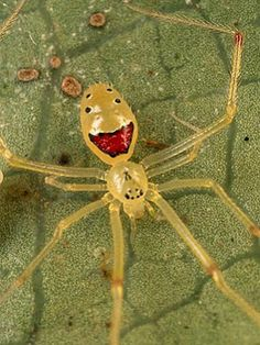 Meet the incredibly charismatic Happy Face Spider (Theridion grallator)who has one major reason to be smiling – he lives in Hawaii! Being in a place with warm weather, ocean water that makes you feel like you're in a bathtub, and unique wildlife would make me a happy camper too.