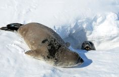 A mother Weddell seal pokes her head out of a hole to communicate with her young pup, on November 30, 2011.