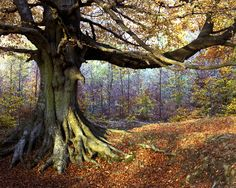 A gnarled beech tree in England's Forest of Dean. Image by David Lloyd / Photographer's Choice / Getty Images. Forest Of Dean, Tree Forest, Magic Forest, Beech Tree, English Countryside, Places To See, Woodland, Parks, Nature