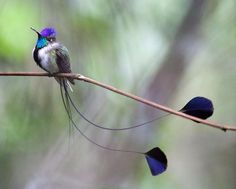 colibrì coda a racchetta - The Marvelous Spatuletail Hummingbird is found only in a tiny region in Peru and is an endangered species. Pretty Birds, Beautiful Birds, Animals Beautiful, Cute Animals, Beautiful Images, Exotic Birds, Colorful Birds, Rare Birds, Akhal Teke
