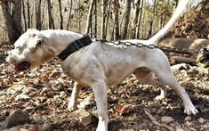 Jam Up Bulldogs Seeka American Bulldogs, Animals, Animales, Animaux, Animal, Animais