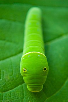 Hidden Caterpillar