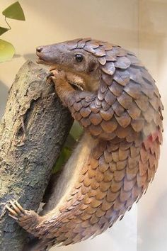 Pangolin: these guys are so cool. Cute but wearing armour. There are 8 subspecies found in China, India, south-east Asia and Africa, and range from threatened to critically endangered. This is due to the demand for its meat and skin.
