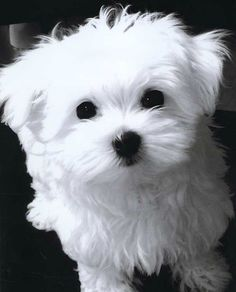 Maltese puppy....want one soooooooo bad.