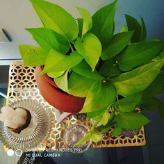 Pothos is considered
