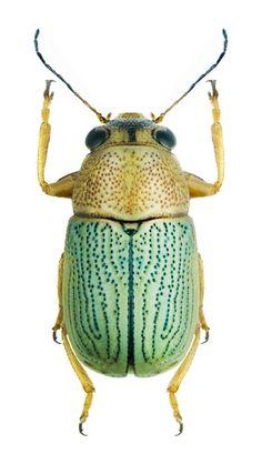 Pachybrachis akbesianus