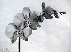 Orchids picture with pencil Body Art Tattoos, Small Tattoos, Sleeve Tattoos, Botanical Drawings, Botanical Illustration, Mechanic Tattoo, Orchid Tattoo, Poppies Tattoo, Black And White Flowers
