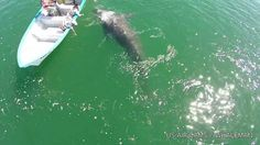 Drone over Gray Whale Mama & her baby as they roll & snuggle! They come ...