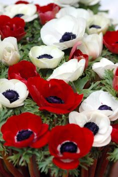 Anémone des fleuristes ( Anemone coronaria ) et ses cultivars 'de Caen', 'Sainte-Brigitte' aux diverses variétés.