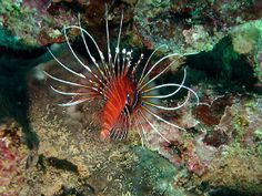 ATIMOO plongée Madagascar - poisson diable
